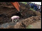 pemusnahan-babi.jpg