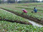 petani-sayur-tangerang.jpg