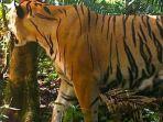 salah-satu-individu-baru-harimau-sumatera-yang-ditemukan-di-taman-nasional-kerinci-seblat.jpg