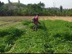 sejumlah-petani-yang-ada-di-kawasan-sidomulyo-tembesi-batam.jpg