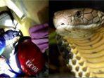 ular-kobra-merengsek-masuk-ke-kamar-tidur-rumah-warga.jpg
