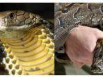 ular-kobra-vs-ular-piton.jpg