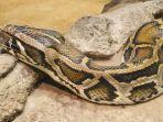ular-piton-burma-mangsa-kambing.jpg