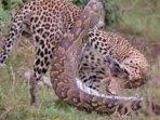 video-ular-piton-bertarung-melawan-macan-tutul-jadi-viral251.jpg
