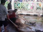 warga-menyaksikan-proses-pemotongan-hewan-kurban-di-masjid-agung-al-barkah-bekasi_20180822_124703.jpg