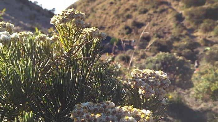 Bunga edelweis di Gunung Lawu Karanganyar.