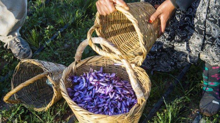 Manfaat Campuran Saffron dan Susu untuk Kecantikan, Mencerahkan Kulit hingga Bikin Tampak Awet Muda