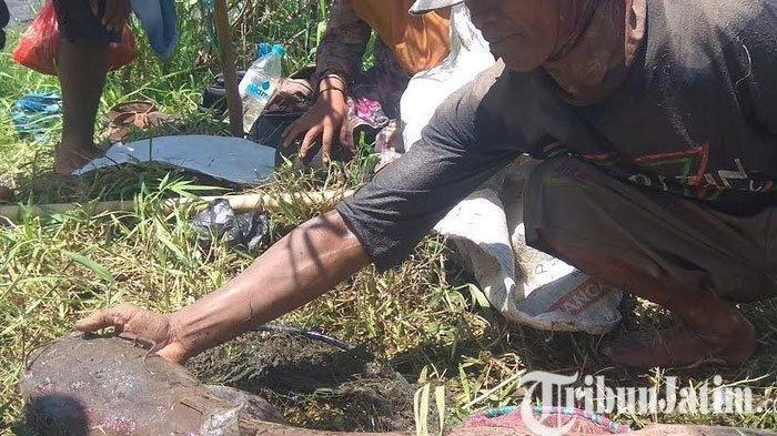 Video Detik-detik Penangkapan Lele Sepanjang 1 Meter di Bendungan Sampean Baru Jatim, Berat 10 Kg