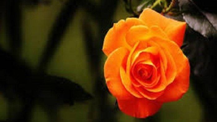 Bunga Mawar Oranye