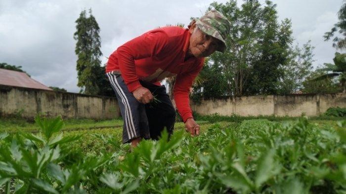 Opa Johnson bercocok tanaman seledri