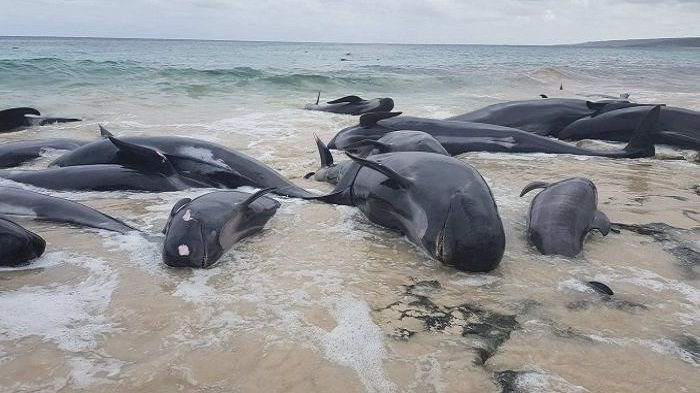 Seekor Paus Sperma Terdampar di Pulau Kapota Wakatobi, Isi Perutnya 5,9 Kg Sampah Plastik