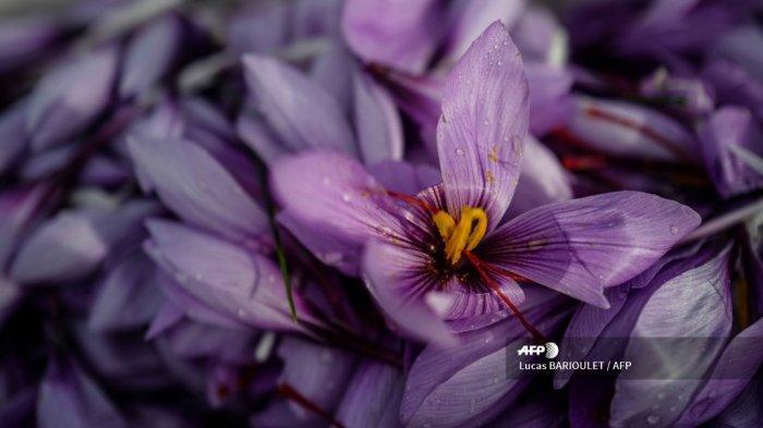 Manfaat Saffron bagi Kesehatan yang Sudah Terbukti, Turunkan Kadar Gula Darah hingga Lawan Kanker