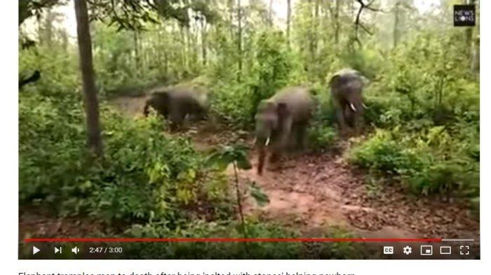 Setelah Melahirkan, Gajah Liar Amuk dan Injak Warga hingga Tewas, Lihat Videonya Detik-detiknya