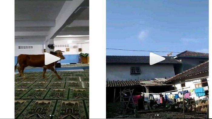 Viral Aksi Hewan Kurban saat akan Disembelih, Sapi Masuk Masjid hingga Kambing Naik Atap Rumah