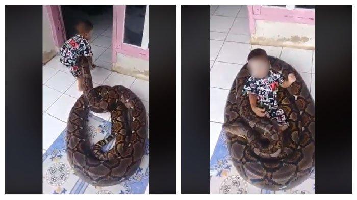 Viral balita bermain ular piton besar