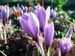 gambar-saffron.jpg