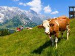 ilustrasi-sapi-di-austria.jpg