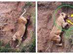induk-singa-menyelamatkan-anaknya_20180324_112123.jpg