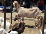 kambing-dan-domba-yang-dijual-di-pasar-hewan-tanjungsari-selasa-2282017_20170831_164335.jpg