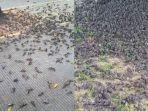 kolase-matinya-ratusan-burung-pipit-di-cirebon-dan-bali.jpg