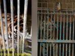 kondisi-harimau-sumatera-yang-terpapar-covid-19.jpg