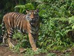 peresmian-pusat-rehabilitasi-harimau-sumatera-prhsd_20180311_134610.jpg