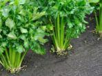 sayuran-seledri.jpg