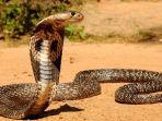 ular-king-cobra-ilustrasi.jpg