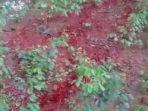 warga-digemparkan-dengan-air-merah-pekat-yang-keluar-dari-permukaan-tanah.jpg